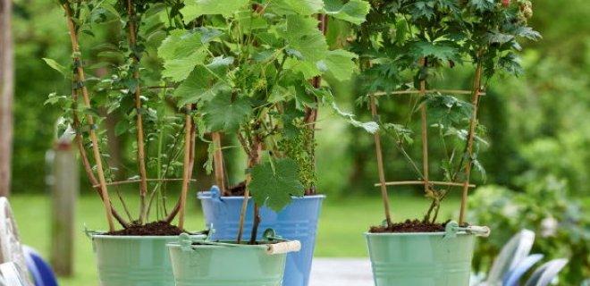 Tuinplant van juni: klimfruit