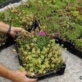 Voorgekweekt groendak systeem   Ekogras