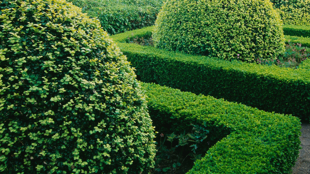 Wat te doen tegen buxusmot? 5 tips om eraf te komen #buxusmot #buxus #tuin #groen