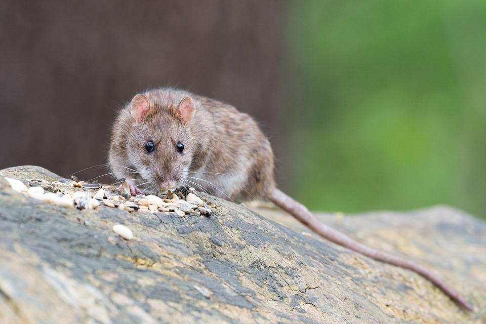 Ratten in de tuin. Zo los je het op #ratten #tuin #rattenbestrijden