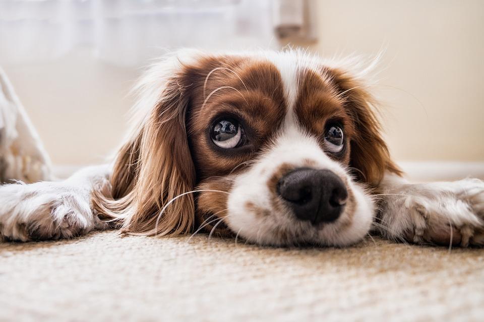 Reinigingsmiddelen voor de vloer en hondenspullen bij huisdieren #vloer #vloerreinigers #huisdieren
