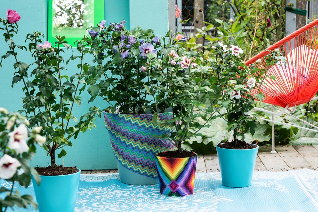Kleurrijke planten voor het terras. De hibiscus is iuitgeroepen tot balkon- en terrasplant van het jaar