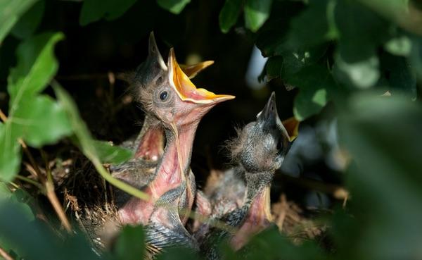 Diervriendelijke tuinen - merelnest #vogels #nest #tuin