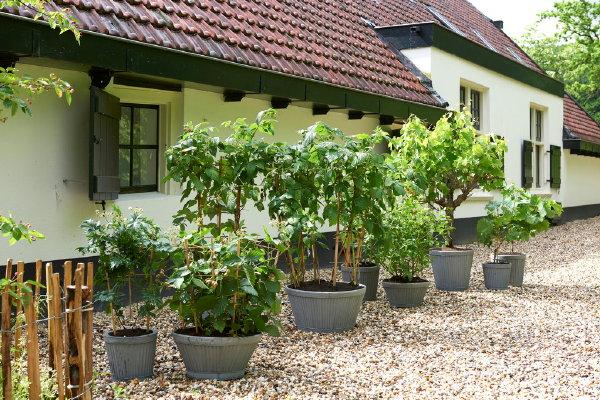 Tuinplant van de maand juni - klimfruit. Bron: mooiwatplantendoen #klimfruit #druif #tuin #tuinplant #mooiwatplantendoen