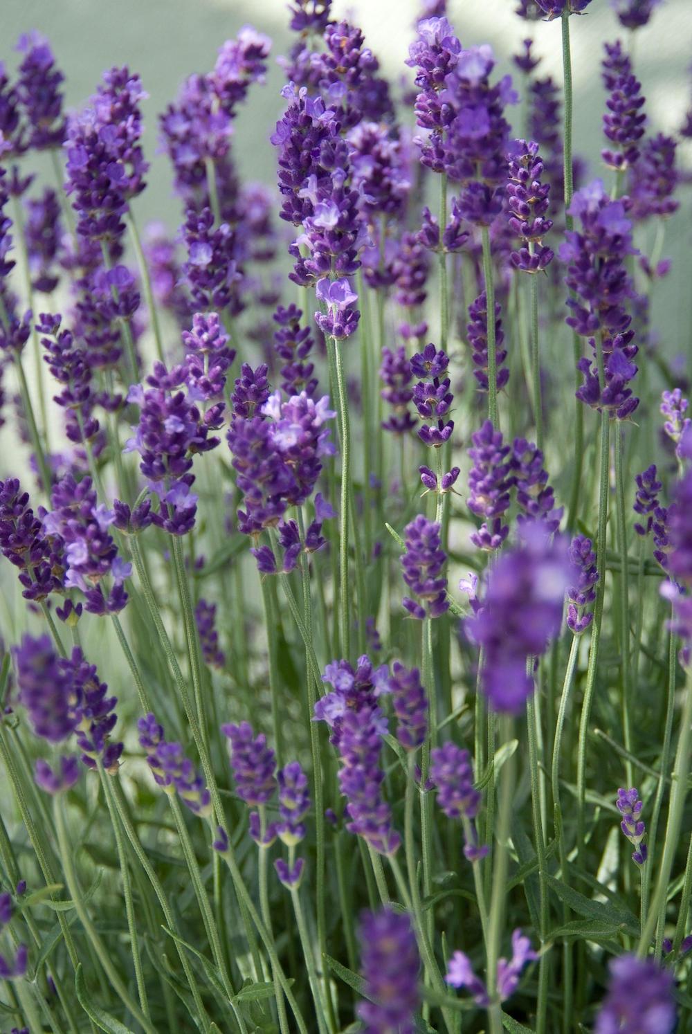 Tuinplanten die een positieve en kalmerende invloed hebben #tuinplanten #tuin #balkon #mooiwatplantendoen #lavendel