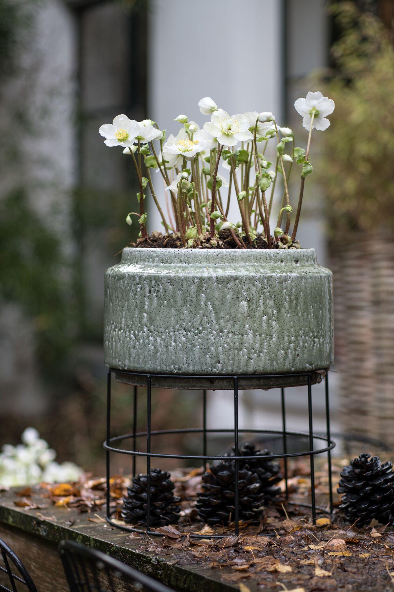 Tuinplant voor herfst en winter #winterwonderland #tuinplant #kerstroos #tuin #Tuininspiratie
