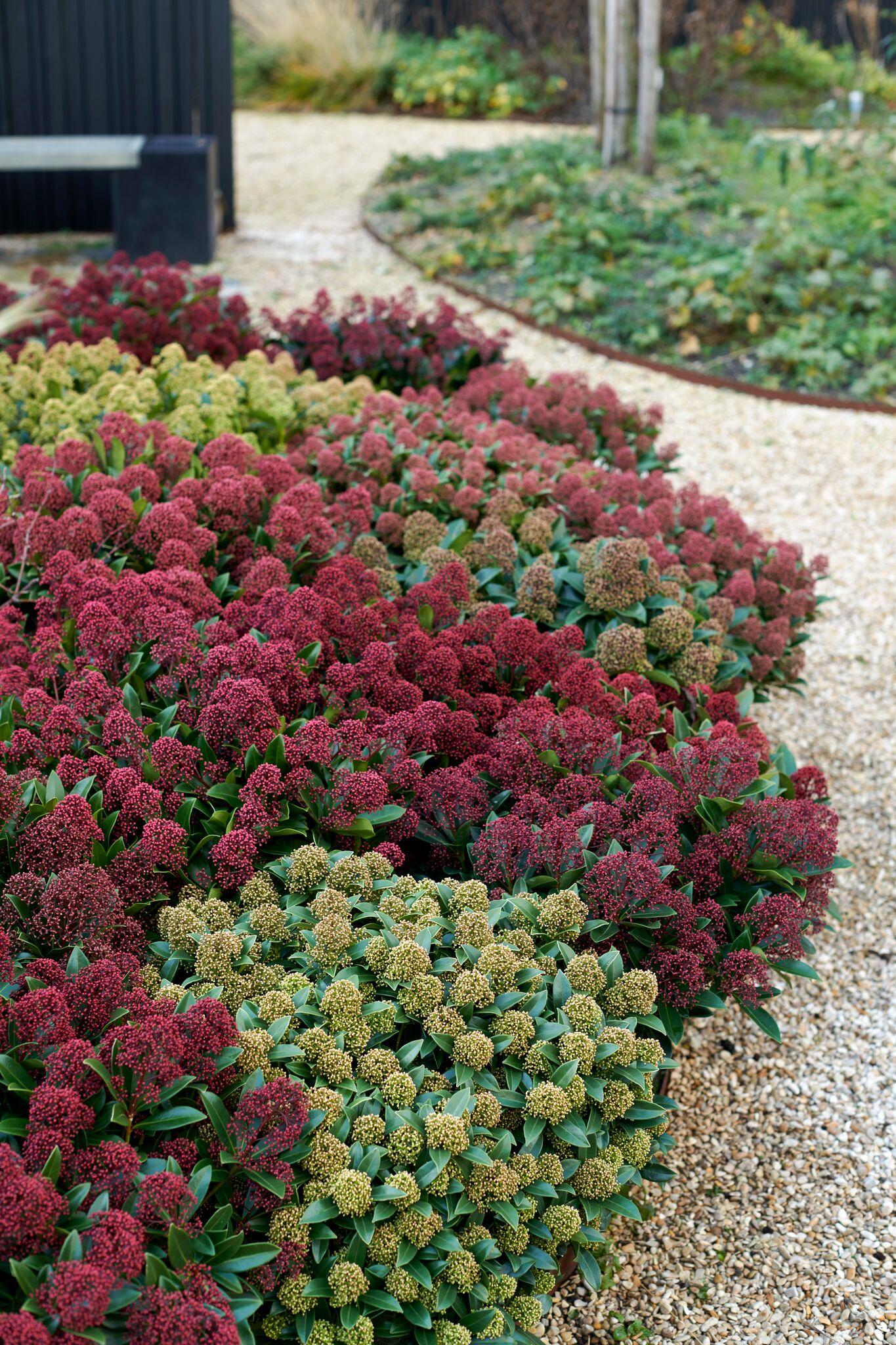 Tuinplant voor herfst en winter #winterwonderland #tuinplant #skimmia #tuin #Tuininspiratie