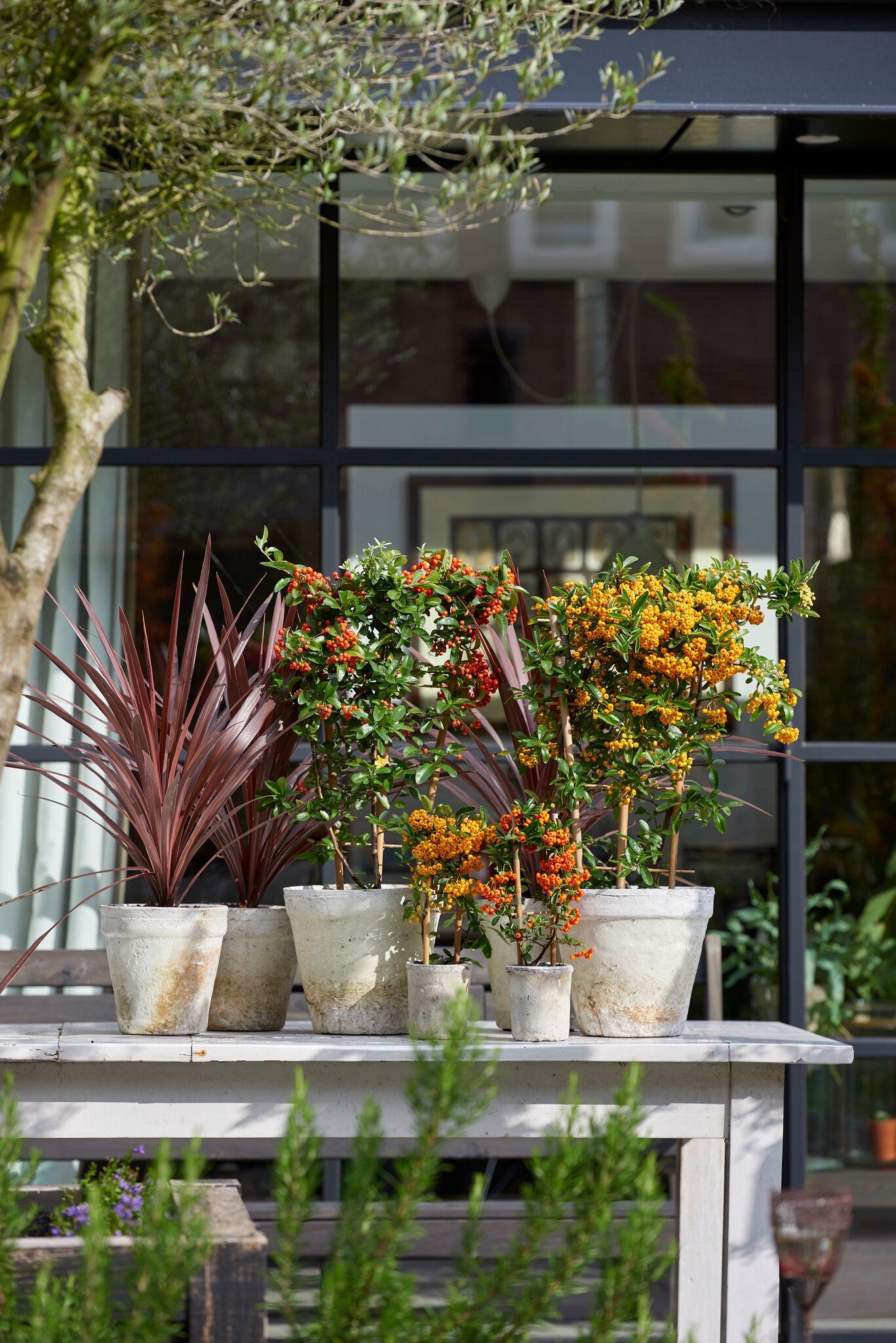 Tuinplant voor herfst en winter #winterwonderland #tuinplant #vuurdoorn #tuin #Tuininspiratie