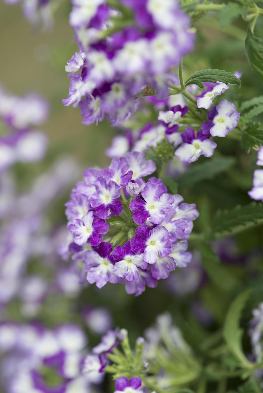 Tuinplanten die een positieve en kalmerende invloed hebben #tuinplanten #tuin #balkon #mooiwatplantendoen #verbena
