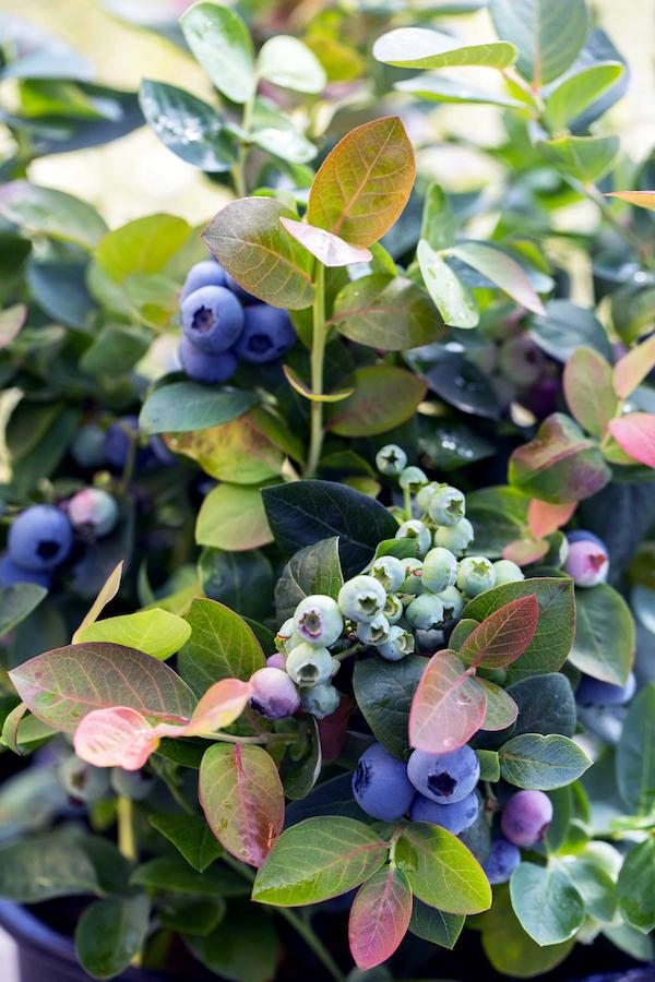 Blauwe bes peach sorbet